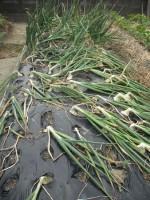 収穫「たまねぎ」'14