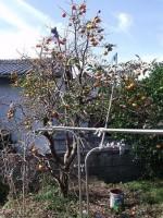 高枝切りばさみで柿を収穫