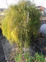 アスパラの茎を刈り取り'14