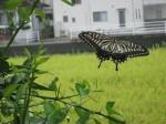 スダチとアゲハ蝶