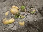 収穫「ジャガイモ '13」