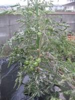 挿し木のトマトその後「トマト」'13