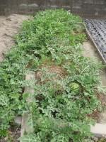 苗の植付けから2ヶ月 スイカ '14
